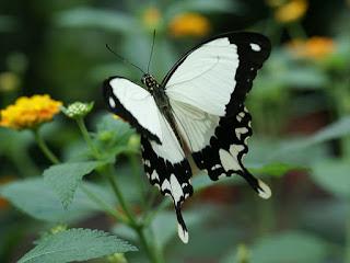Papilio dardanus - Mouchoir volant