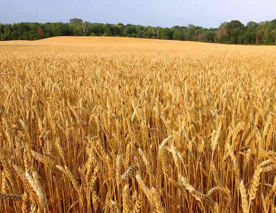 High-yield Crops
