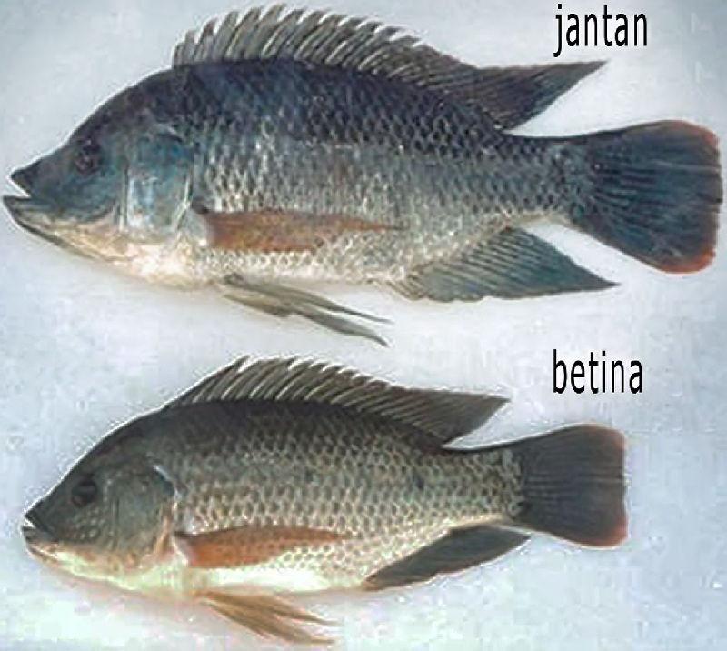 cara memelihara ikan nila supaya cepat besar