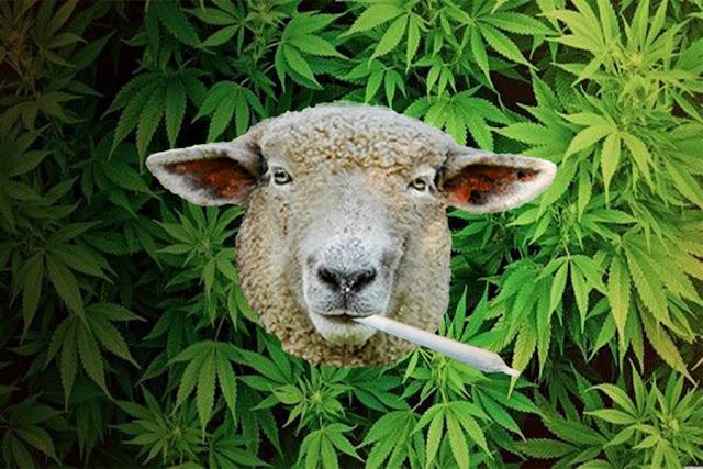 Απίστευτο: Πρόβατα έφαγαν… κάνναβη αξίας 50.000 ευρώ στην Καλαμάτα