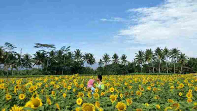 Lokasi taman bunga matahari dan tiket masuk taman dewari magelang, jawa tengah
