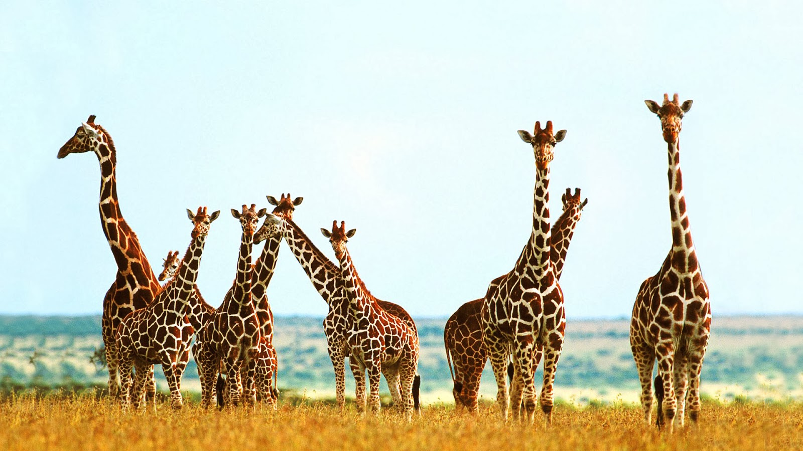 30 Stunning Full HD Wallpapers of Giraffe | Hindi Motivational Quotes | HD Wallpapers | Windows ...
