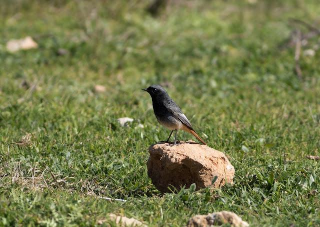 Black Redstart - Boquer Valley - Mallorca