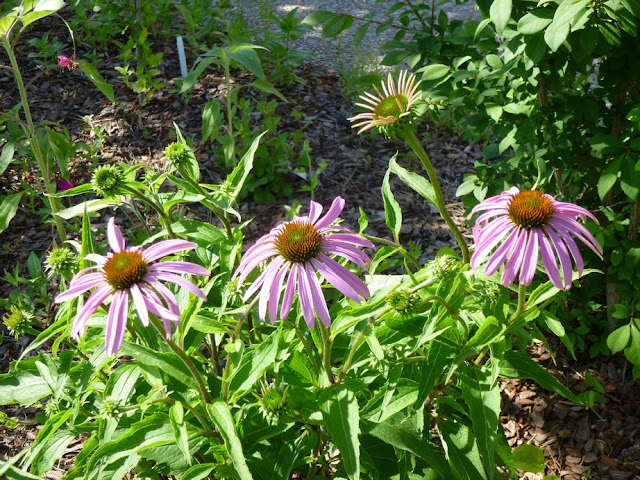 Echinacea purpurea, Eastern Purple Coneflower, a native plant to Tennessee