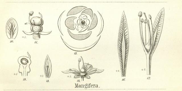 Mango indyjskie (Mangifera indica) -kwiaty, kwitnienie, budowa kwiatu, zapylanie, jak długo trzeba czekać na owoce mango, jak kwitnie mango, jak wyglądają kwiaty, kwiatostany mango?