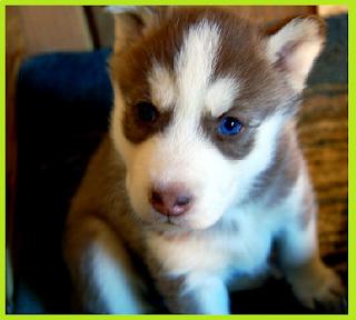 Makanan terbaik untuk anakan Siberian husky