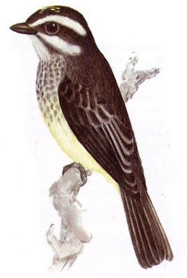 Tuquito chico Legatus leucocephalus