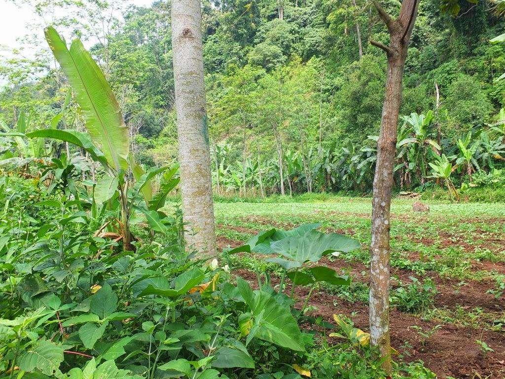 DSCF1827+(FILEminimizer) Jual Tanah Kebun Albasiah 6 HA Di Kec Pacet Jual tanah di cipanas