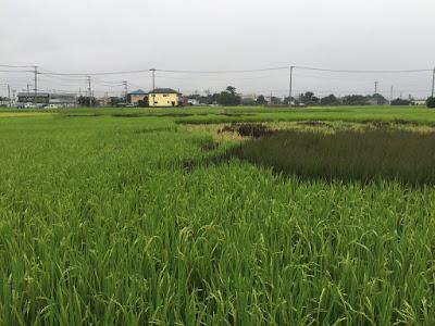 こしがや田んぼアート2015食戟のソーマ(8/30の様子)