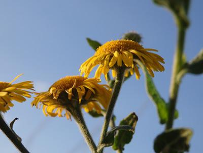 Pulicaria, Hierba de gato (Pulicaria dysenterica) flor silvestre amarilla