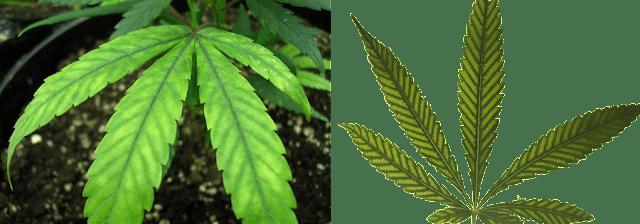 צמח קנאביס עם מחסור במגנזיום