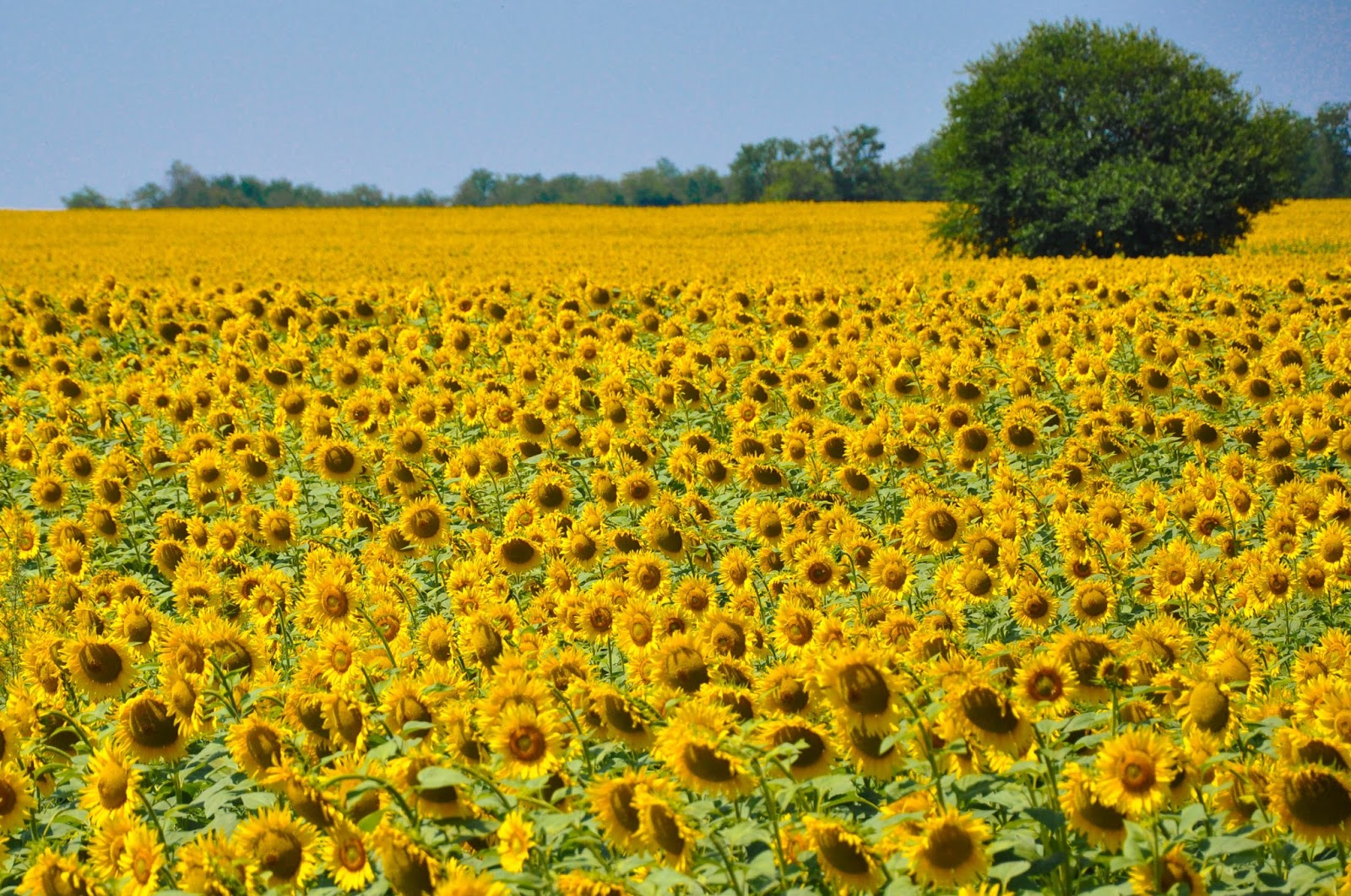 A sunflower field just outside Varna in Bulgaria