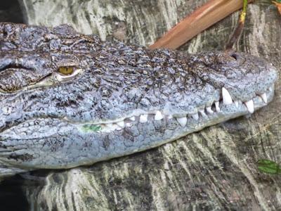 Kopf vom Krokodil im Tropen Aquarium im Tierpark Hagenbeck Hamburg