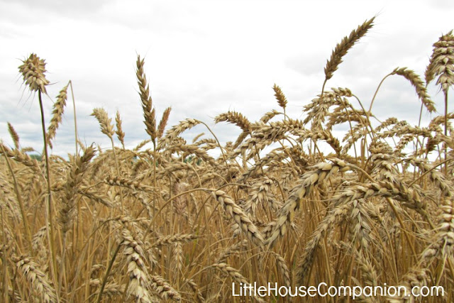 Wheat in the Little House books.