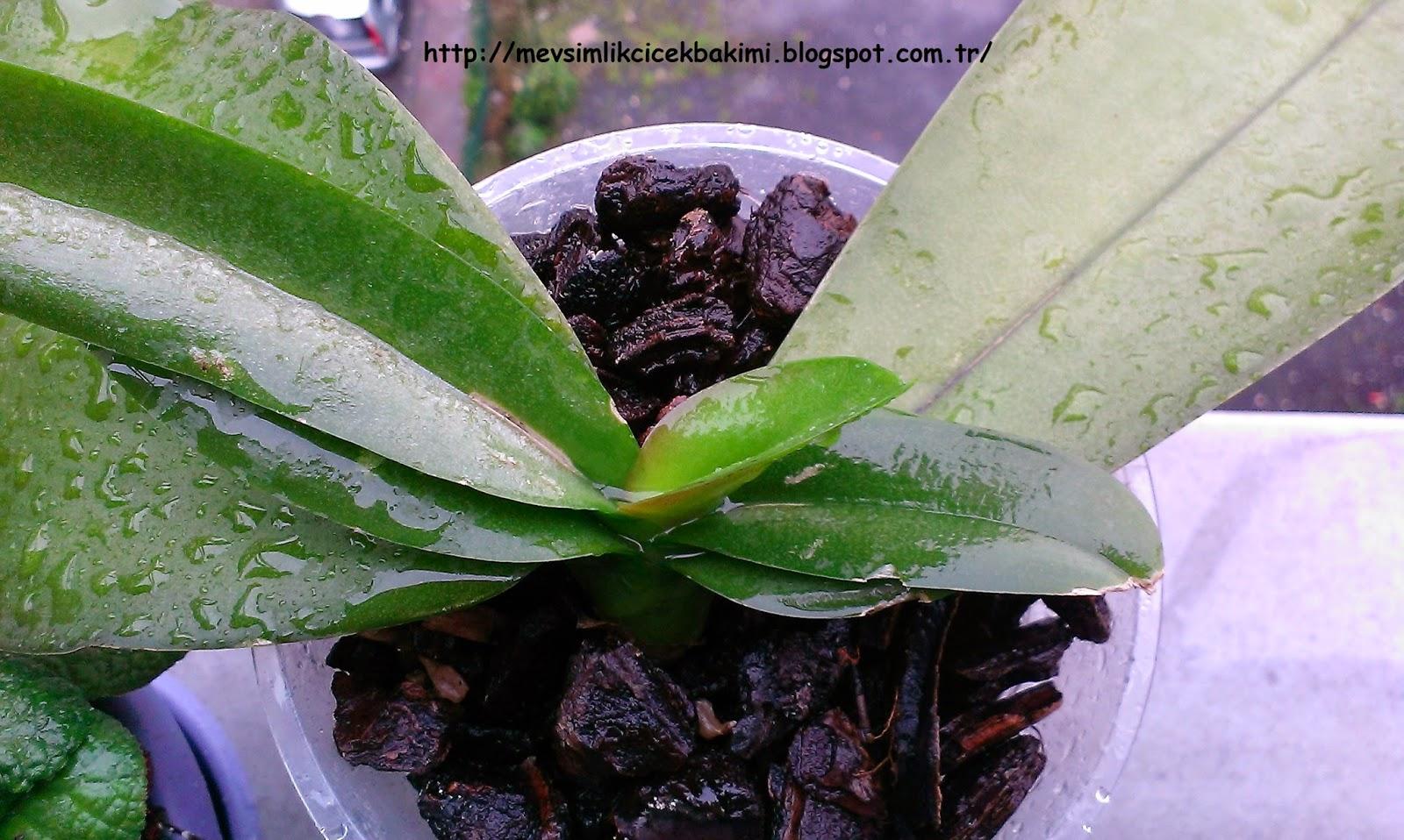 Yapraklar neden bir orkide sararır