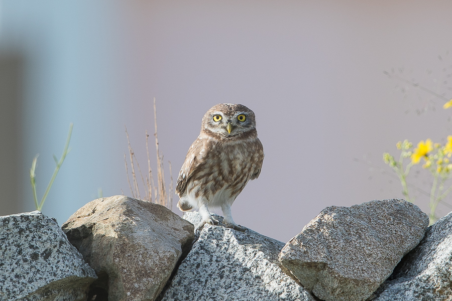 Little Owls – An Namas