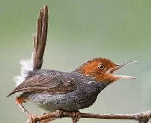 Tips Memelihara Burung Prenjak