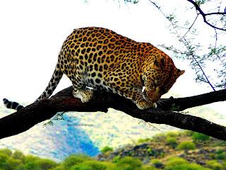 Afrikas Tierwelt, Afrika se wildlewe, Kafshë të egra të Afrikës, Afrikanın vəhşi təbiəti, Afrikako fauna, Afrike divljači, Africa's wildlife, Aafrika metsloomi