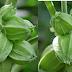 What is Ashwagandha (indian ginseng), Nutritional Value and uses of Ashwagandha