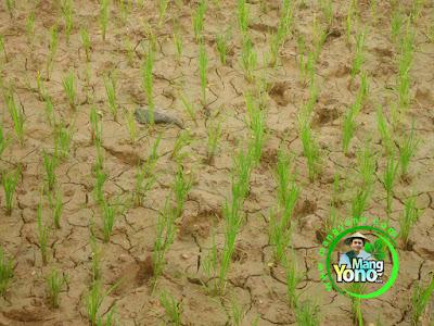 FOTO 1 : Tanam Padi TRISAKTI di Darat / Ladang atau Lahan Gogorancah