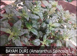 Mengenal Bayam duri (Amaranthus Spinosus L.) sebagai Gulma