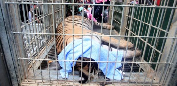 Alma Caipira - 40 filhotes de tigre são encontrados em freezer de templo budista