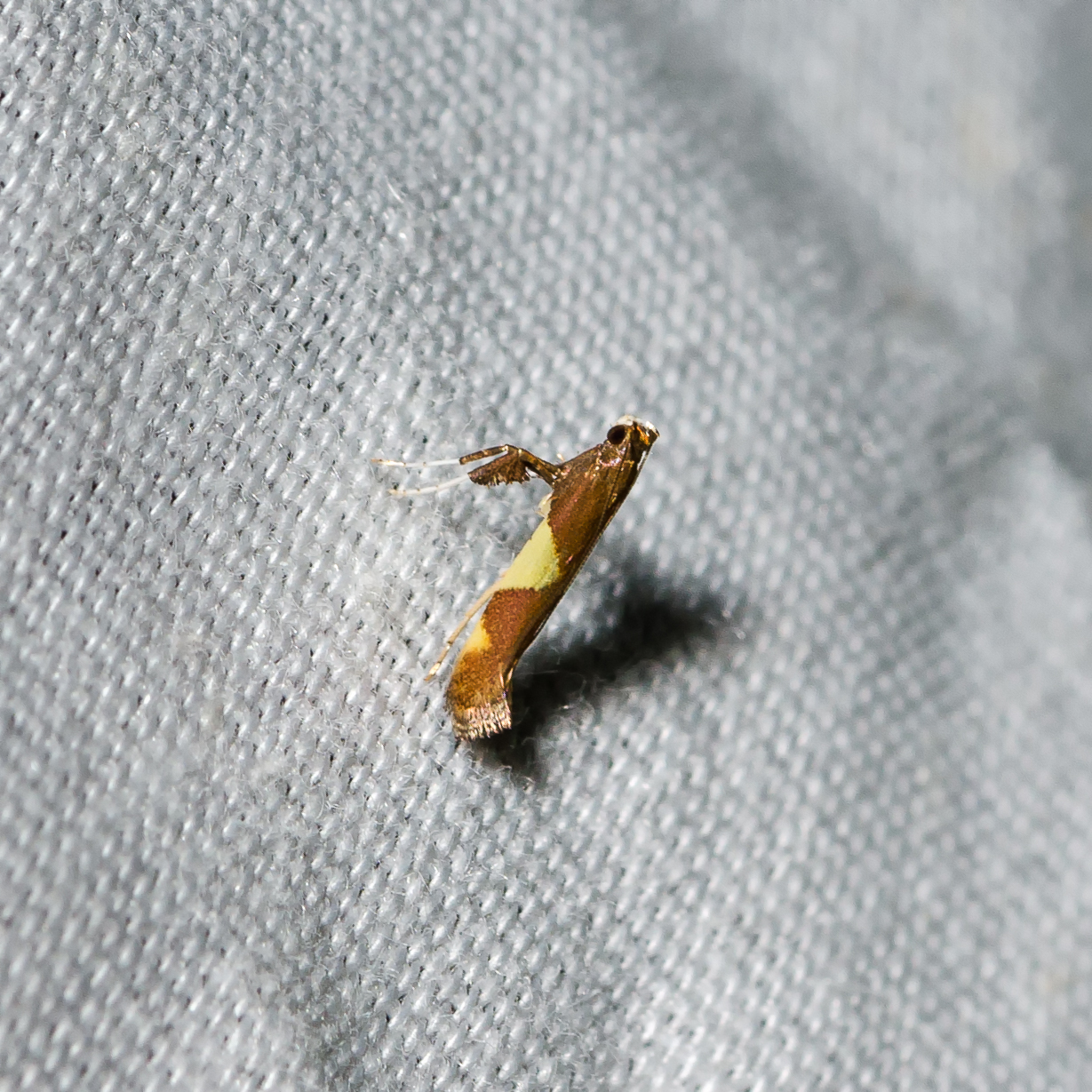 Maple Caloptilia (Caloptilia bimaculatella)