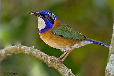 Carraca terrestre cabeza azul Atelornis pittoides