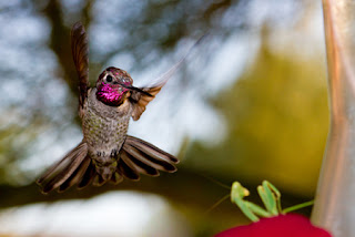 A hummingbird lhovering over a mantis and watching it warily