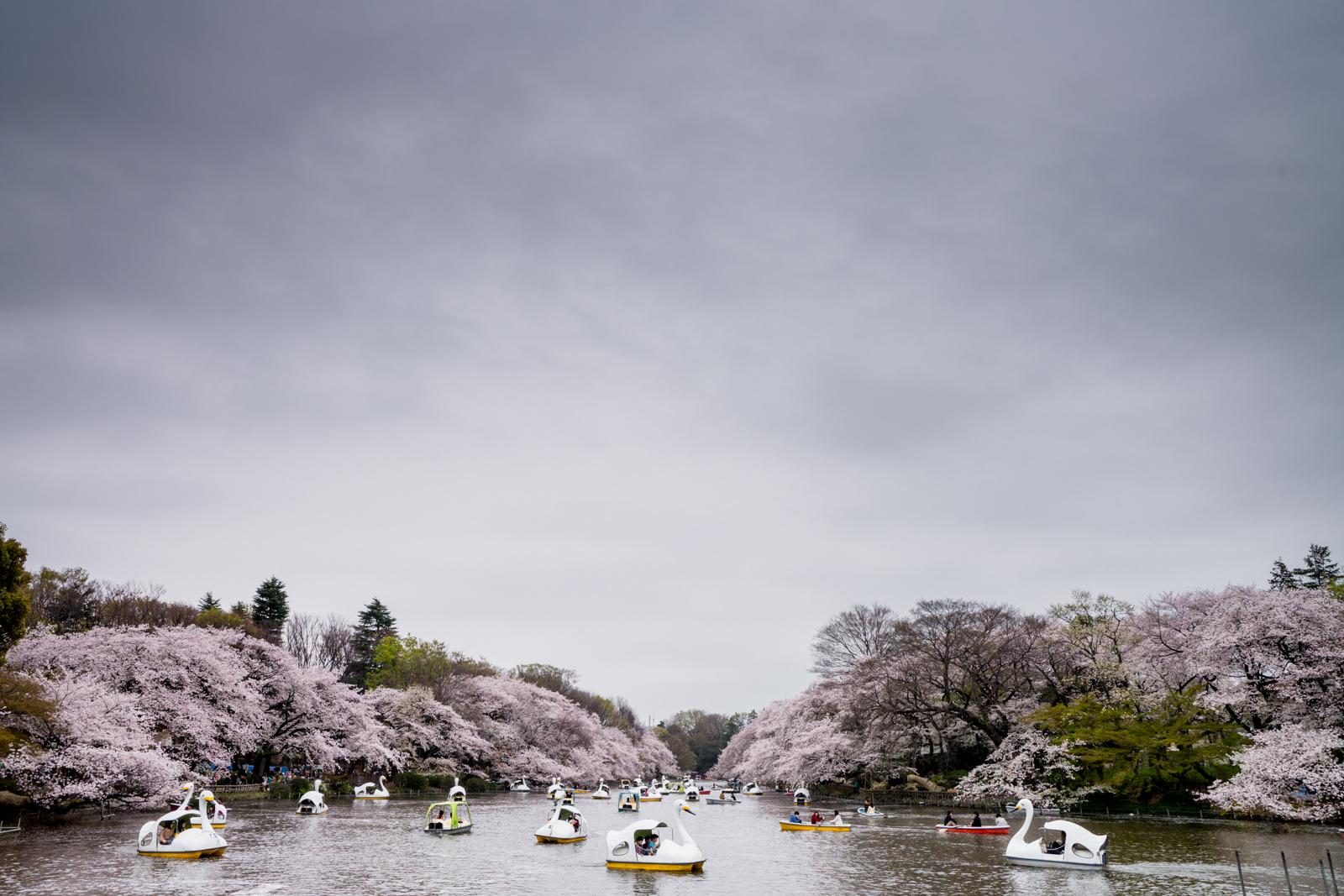 井の頭恩賜公園の桜の写真