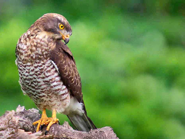 bird, Grey-faced Buzzard, Okinawa, Wildlife