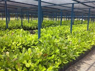 Produção de 10 mil mudas de caju na PB gera renda a agricultores durante seca