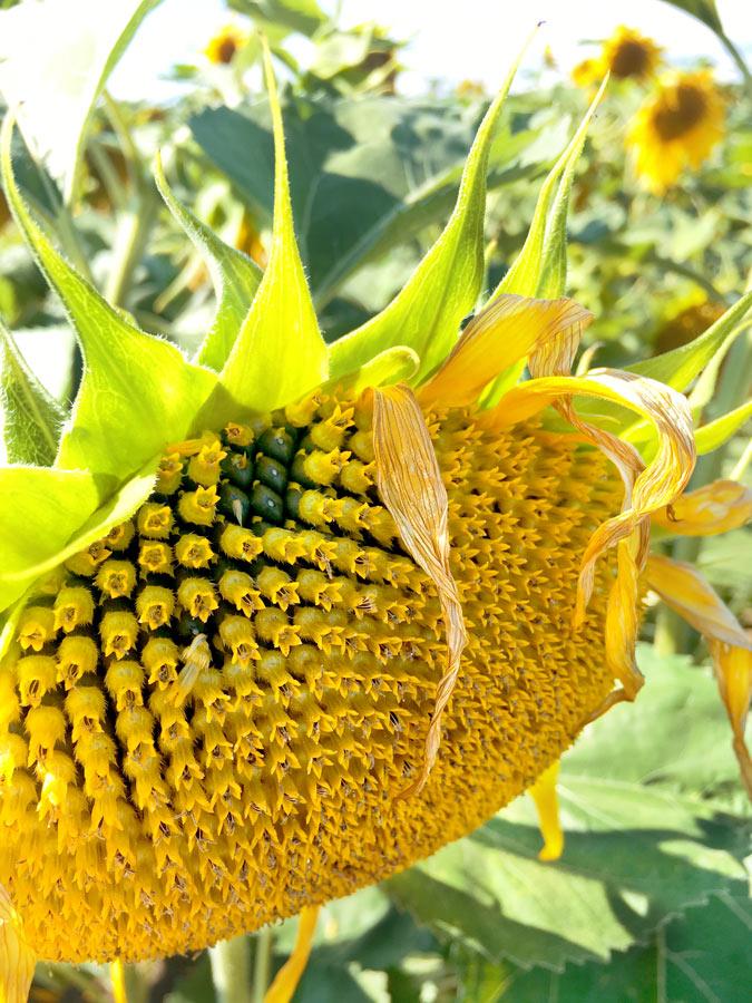 sunflower, sonnenblume, yunaban, witch, natural, healing, naturheilkunde, seed cycling, seeds, period, blog, schweiz, vegan, blogger, nature, flower