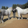 Avalanche Percheron