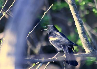 The Red-winged Blackbird @ Hendrie Park, RBG, Burlington, ON :: All Pretty Things