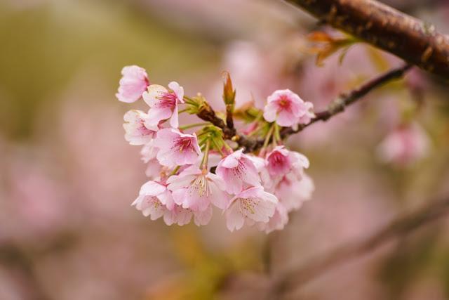 桜の花~道の駅・とみうら枇杷倶楽部
