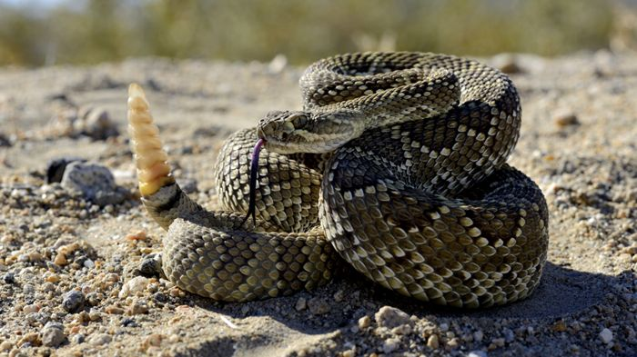 Serpientes De Cascabel El Que Avisa No Es Traidor
