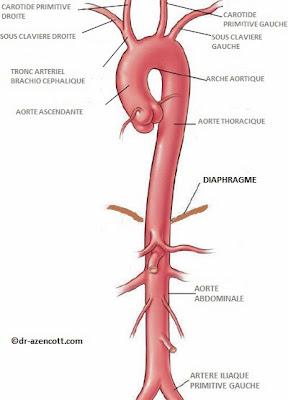 anatomie aorte infirmier