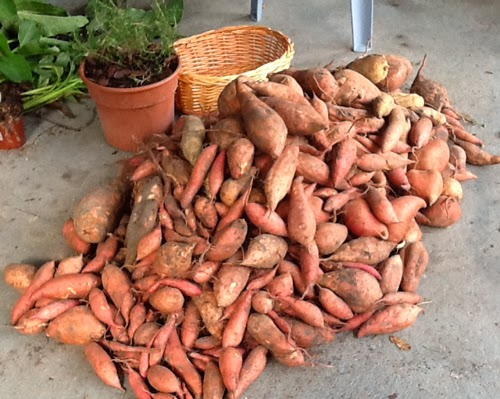 How to grow sweet potatoes in pots or containers