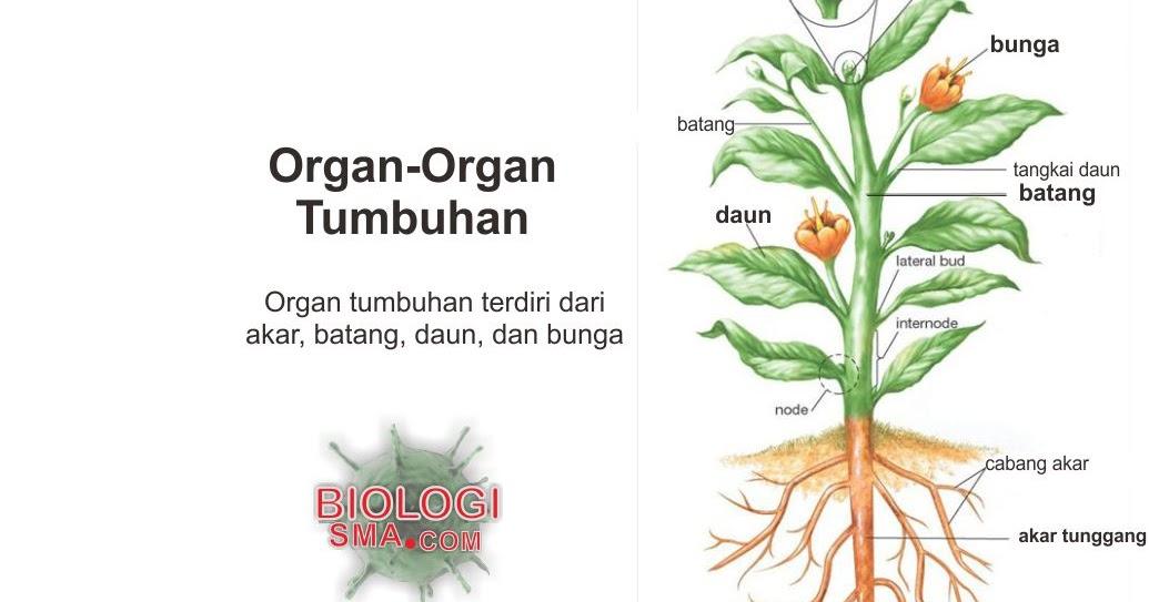 Organ Tumbuhan : Akar, Batang, Daun - Dunia Biologi