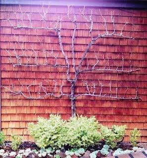 Pear Tree Espalier