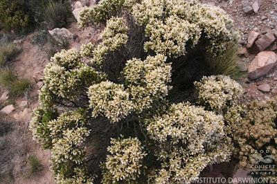flora nativa Tola lejia