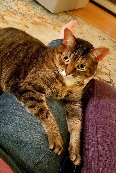 image of Sophie the Torbie Cat sitting on my lap