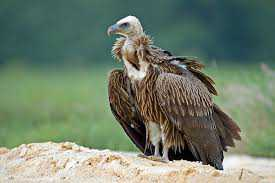 himalayan-vulture-is-making-shelter-in-chambal-valley