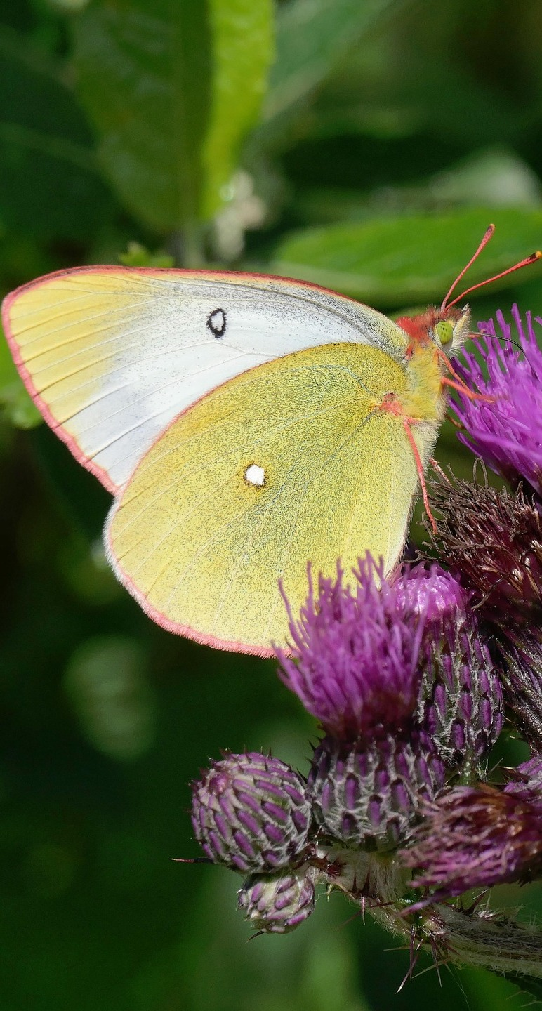 A clouded yellow butterfly on a thistle flower