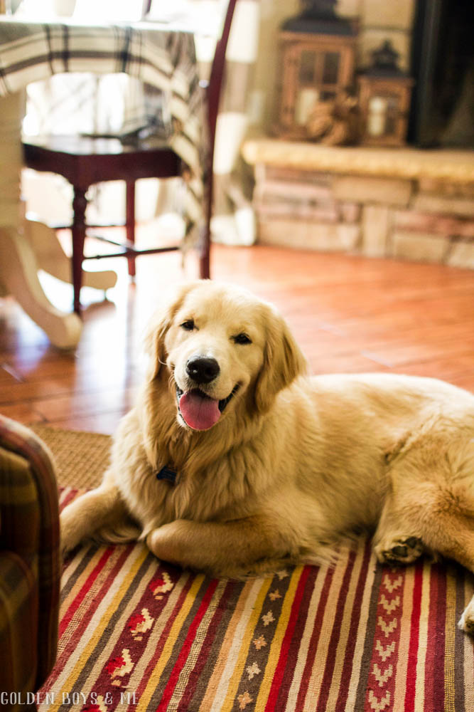 golden retriever puppy on Ikea rug in family room - www.goldenboysandme.com