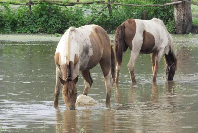 Manipur: Why the world's original polo pony is dying