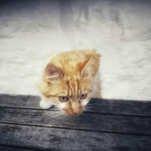 curious orange and white kitty