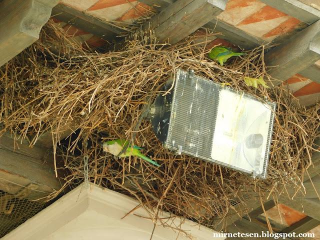 Зелёные попугаи на Монжуике - Барселона, Испания