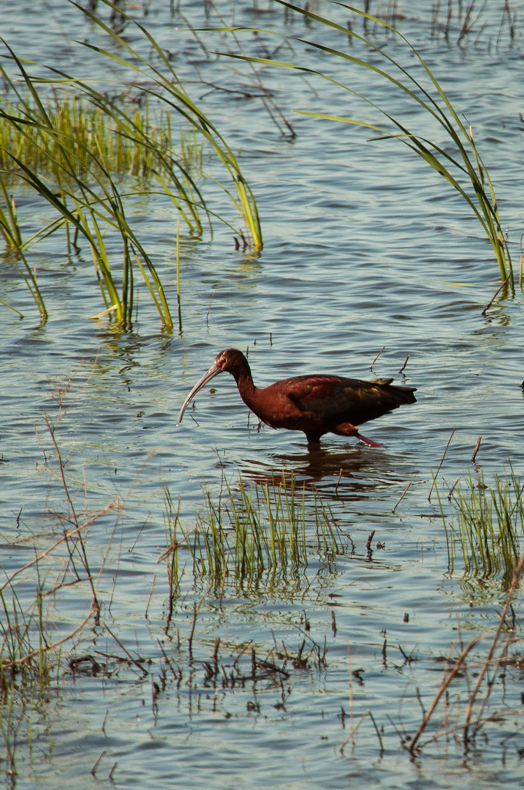 Scarlet Ibis, Hagerman Wildlife Refuge